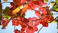 See the red leaves while you still can in Nha Trang